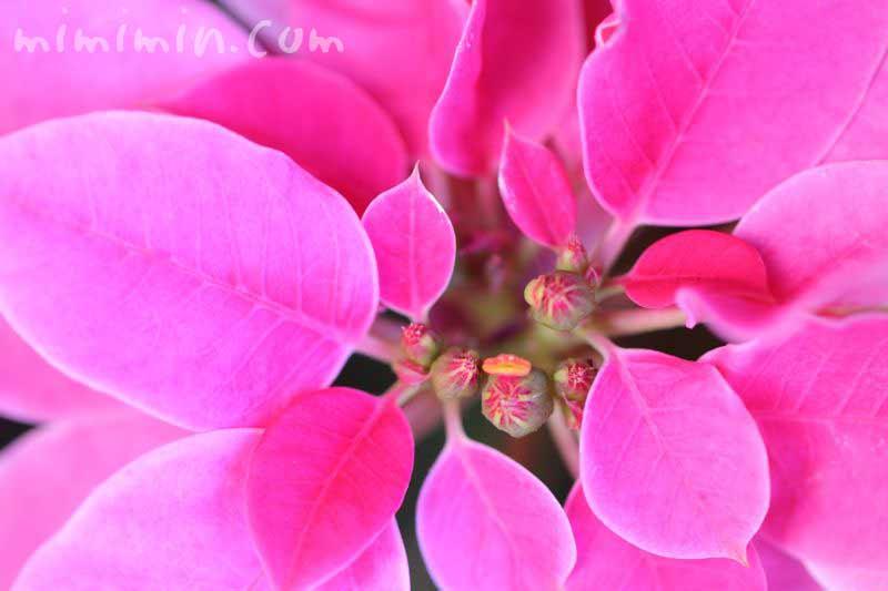 ピンク色のポインセチアの花の画像