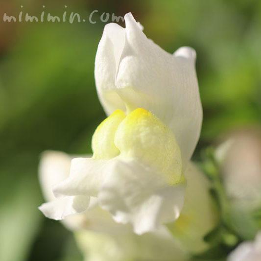 キンギョソウの花の写真