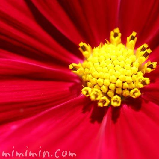 赤いコスモスの写真