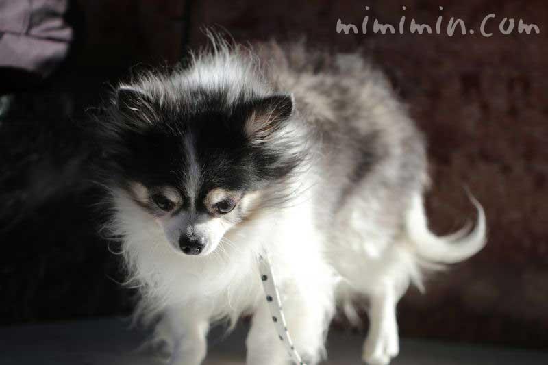 白黒チワワくんの散歩・恵比寿ガーデンプレイスの画像