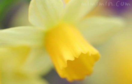 黄色のラッパ水仙の写真・花言葉の画像