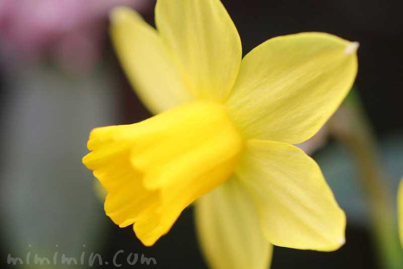 黄色のラッパ水仙の写真と花言葉