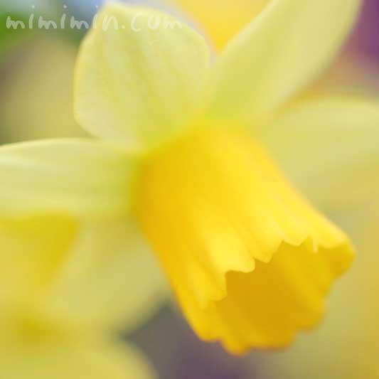 黄色のラッパ水仙の花の写真と花言葉