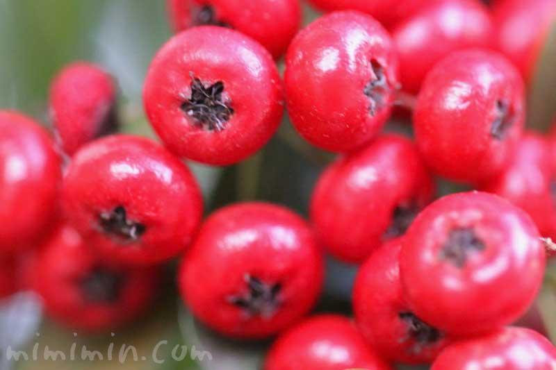 赤い実|ピラカンサ