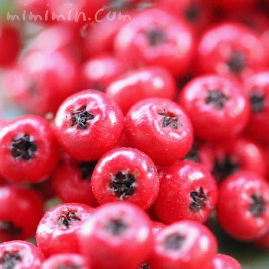 赤い実|トキワサンザシの写真