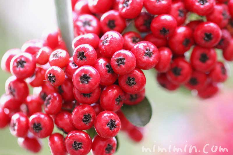 ピラカンサ(トキワサンザシ)・赤い実