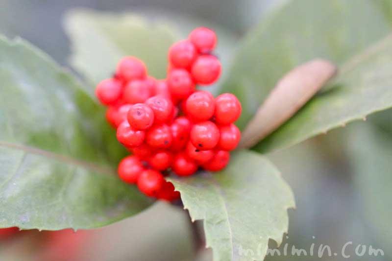 千両の赤い実の写真と花言葉