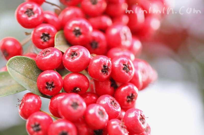 ピラカンサ(トキワサンザシ)・赤い実の写真