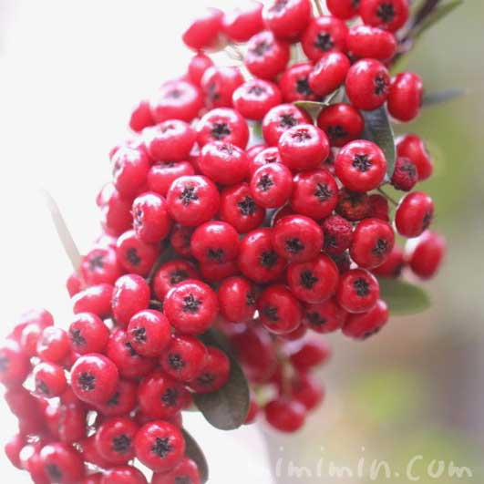 赤い実|トキワサンザシ
