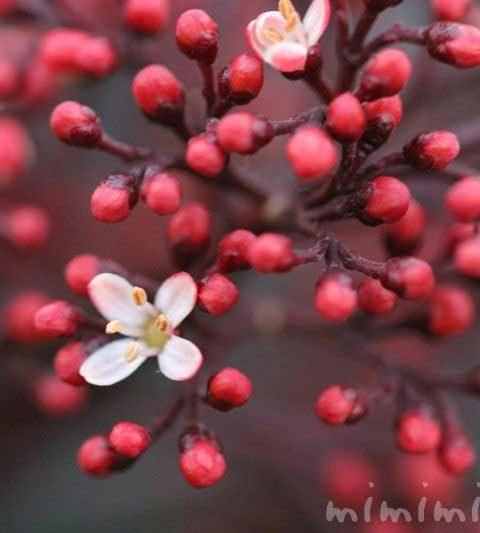 シキミア(スキミア)の花の写真・花言葉・名前の由来