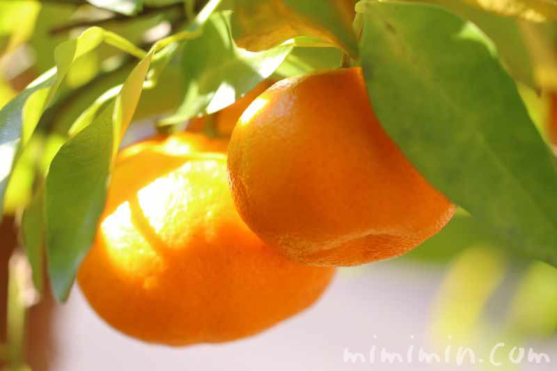蜜柑の木の画像