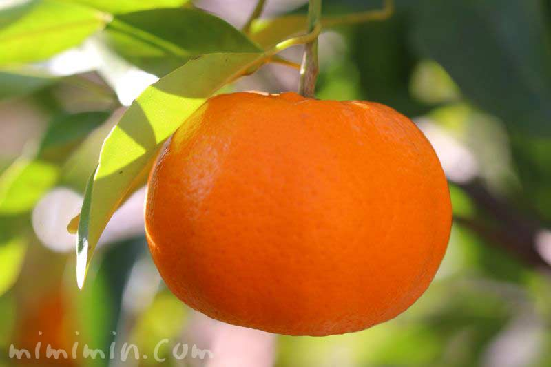 ミカン・蜜柑の木の写真