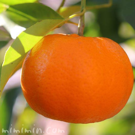 蜜柑の写真