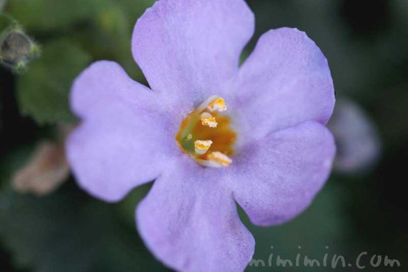 バコパ(ステラ)の花・紫の画像