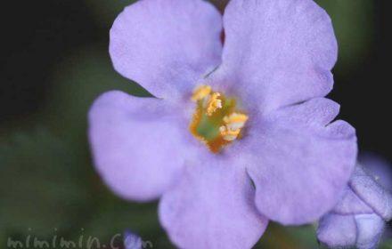 バコパ(ステラ)・紫の写真