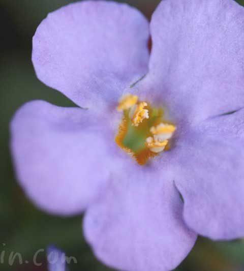 バコパ(ステラ)の花の写真・花言葉・誕生花