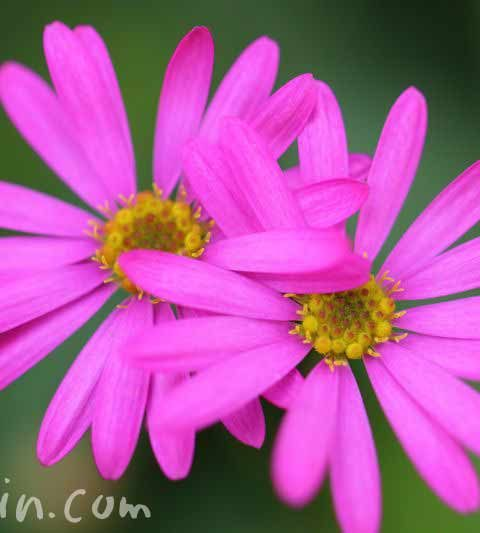 ブラキカム(ヒメコスモス)の花の写真・花言葉・名前の由来