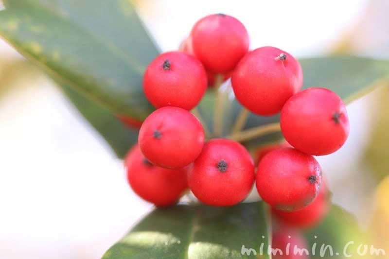 セイヨウヒイラギの赤い実の画像