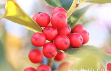 冬の赤い実(クリスマスホーリー)の画像