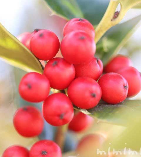 クリスマスホーリー(西洋柊)の花言葉・名前の由来・誕生花