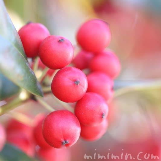 クリスマスホーリーの赤い実の画像