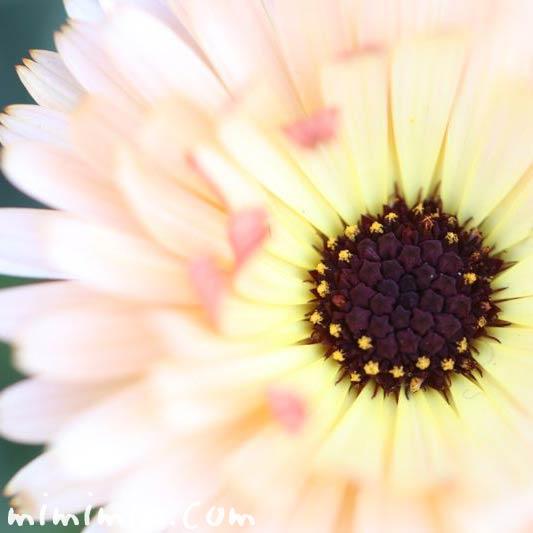 カレンデュラの花 薄い黄色
