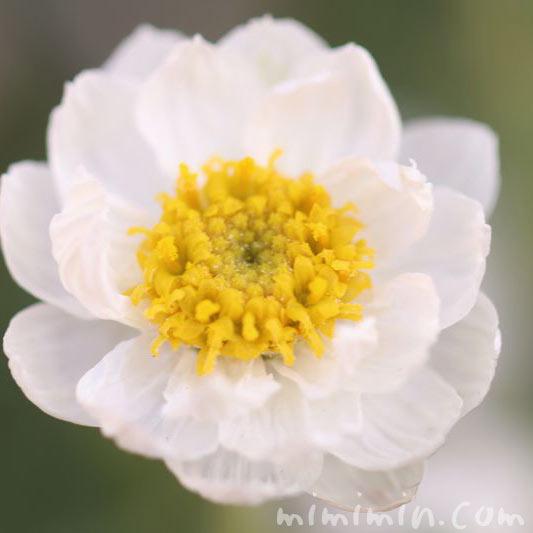 ハナカンザシ(花簪)の画像