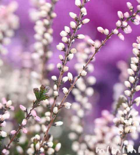 カルーナ ブルガリスの花の写真・花言葉・名前の由来