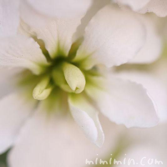 ストックの花(白色)の写真