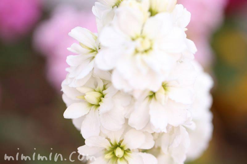 白いストックの花の写真