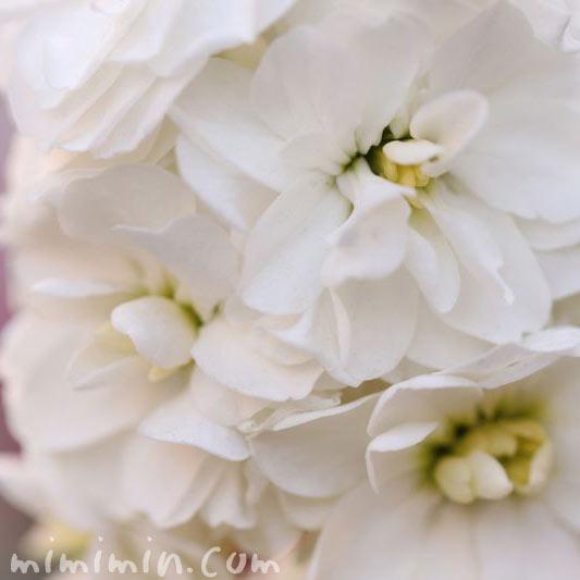 ストックの花・白の写真