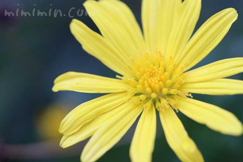 マーガレットコスモスの花言葉と誕生花