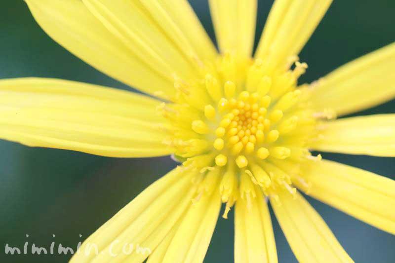 マーガレットコスモスの花言葉と誕生花の画像