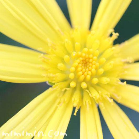 マーガレットコスモスの花の写真と花言葉と誕生花の画像