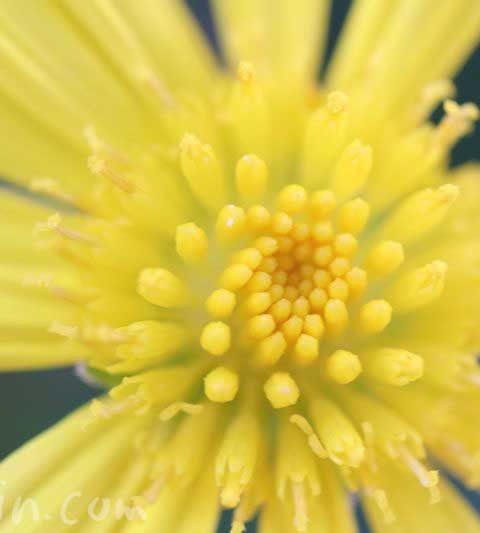 マーガレットコスモスの花の写真&花言葉&誕生花