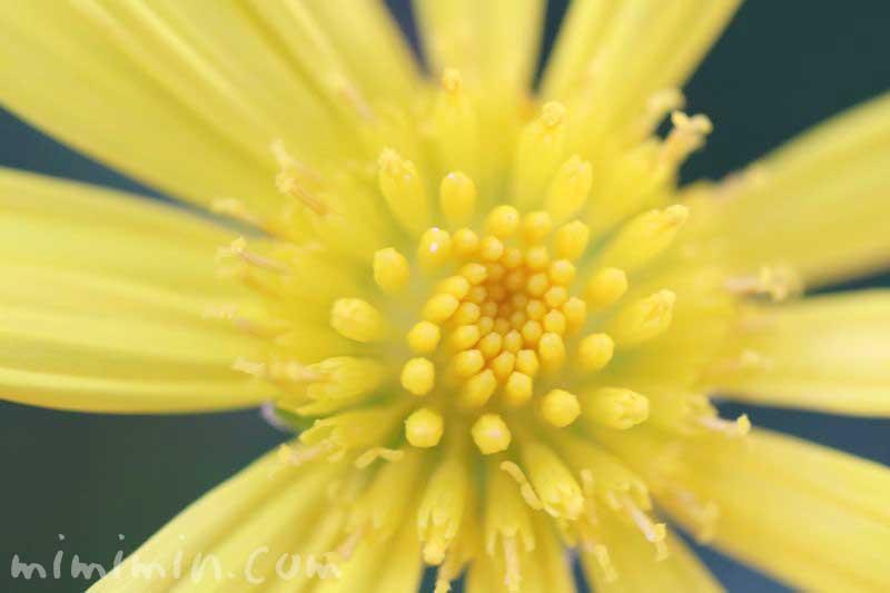 マーガレットコスモスの誕生花