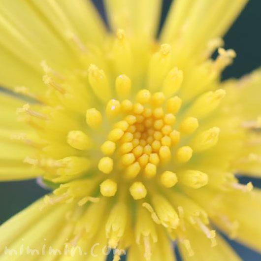 マーガレットコスモスの花の写真と花言葉と誕生花