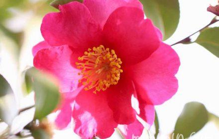 濃いピンクのサザンカの写真・花言葉・誕生花の画像