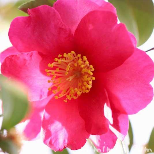 濃いピンクのサザンカの花の写真・花言葉・誕生花の画像