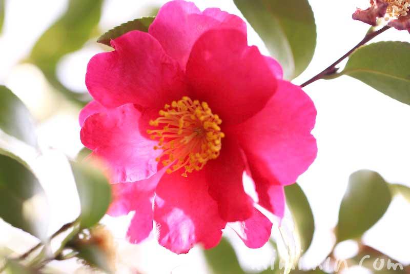 サザンカの花の写真・花言葉・誕生花の画像