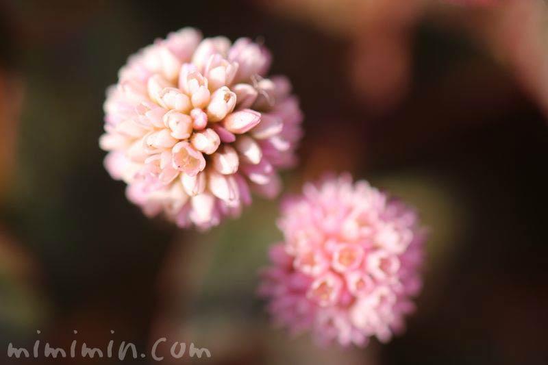 ヒメツルソバの花の画像
