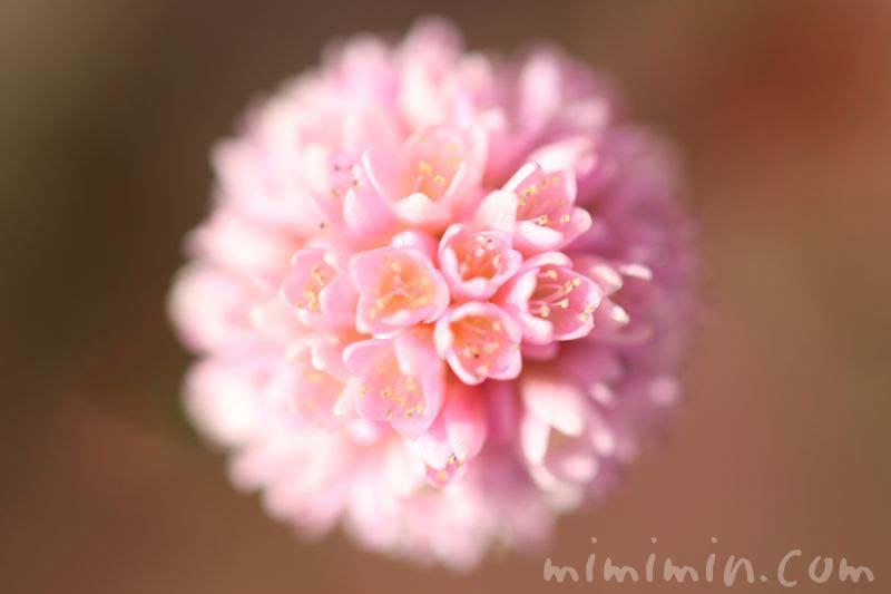 ポリゴナムの花の画像