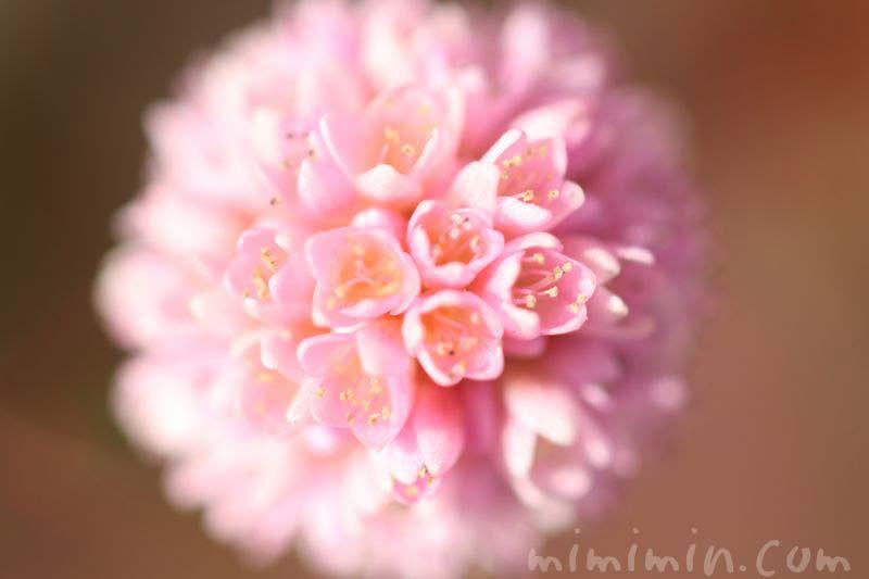 姫蔓蕎麦の花の写真