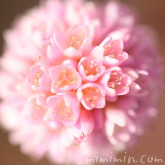 ポリゴナムの花・姫蔓蕎麦の画像