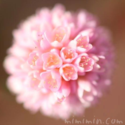 ポリゴナム・姫蔓蕎麦の写真