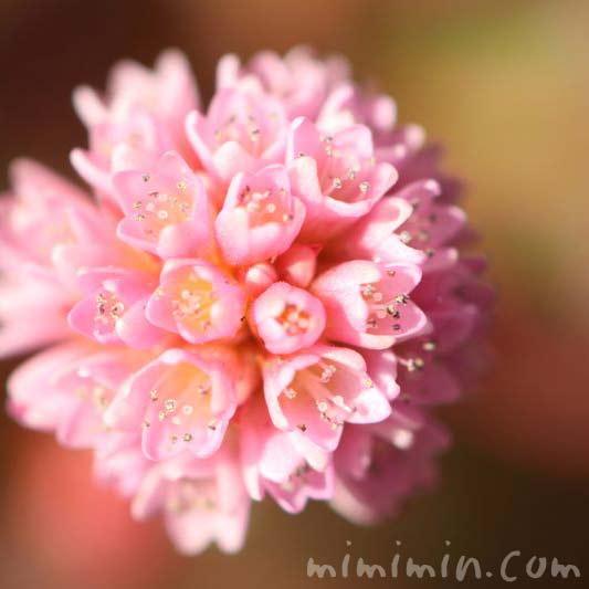 ポリゴナムの花・ヒメツルソバの写真