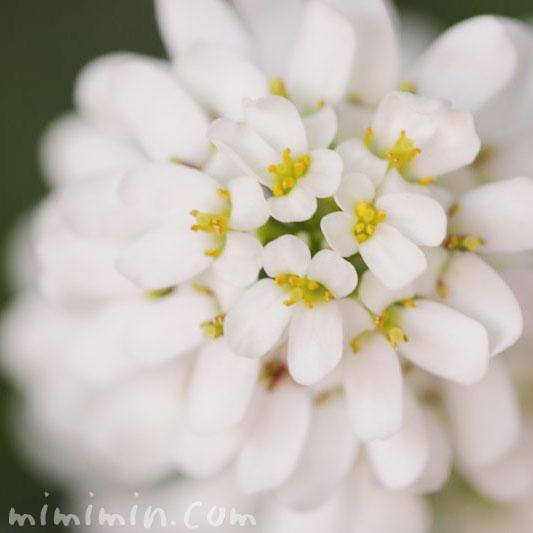 イベリスの花言葉