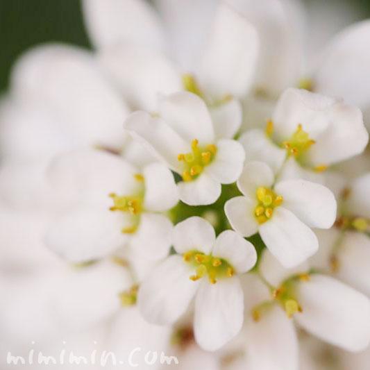 イベリス・誕生花の画像