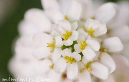 イベリスの誕生花