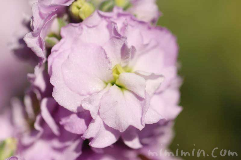ストックの花 薄いピンクの写真